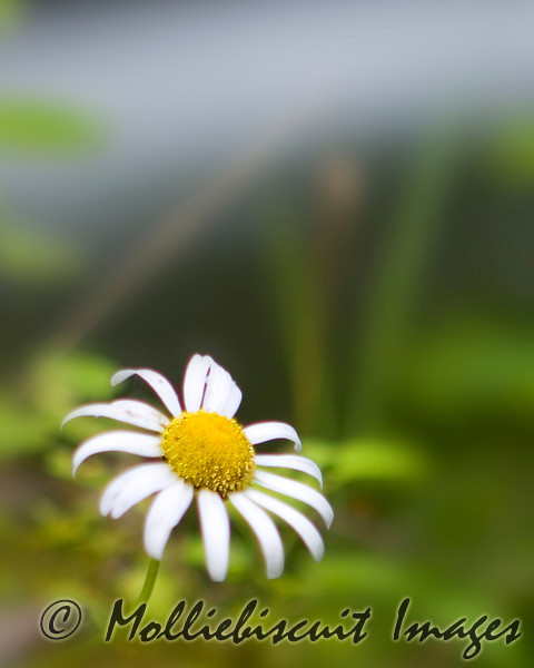 Oxeye Daisy at Tremont<br /> Smokies