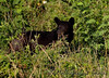 Summer Black Bear finishing berries