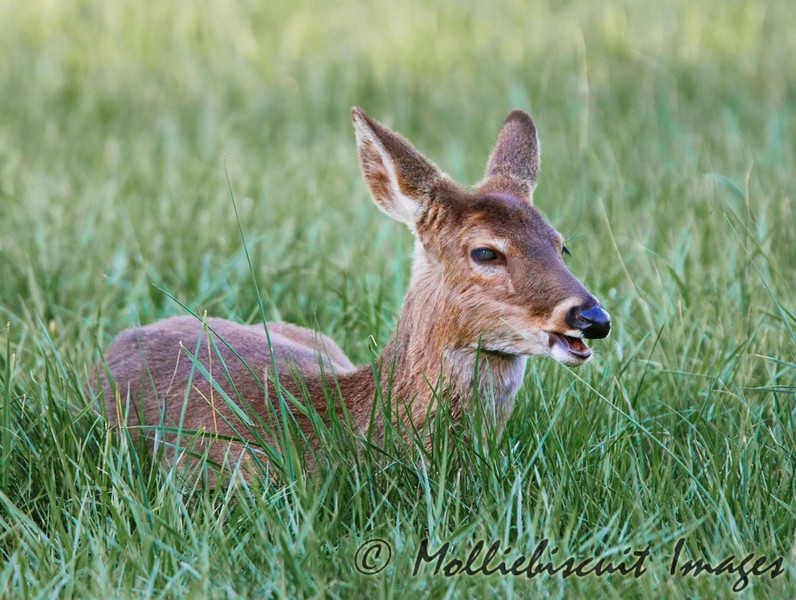 Young Deer calls it's mother who is nearby.