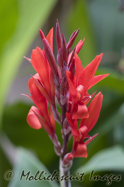Canna, although not native, adds color to local residence