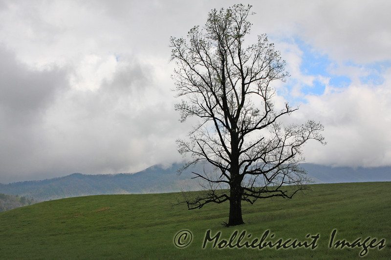 Tree in meadow...Cade's Cove