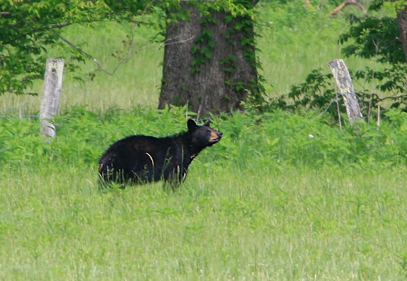 Black Bear on Hyatt Lane<br /> May 2009