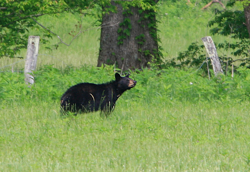 Black Bear on Hyatt Lane<br /> May 2009