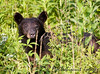 Checking out human scent this bear shows why a long lens is always indicated