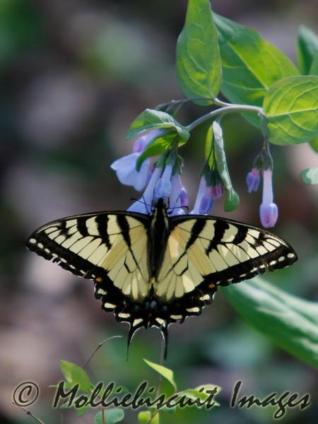 Swallowtail on Virginia Bluebells