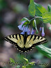 Swallowtail on Virginia Bluebells