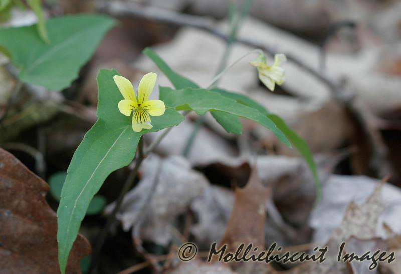 Halberd-Leaved Violet
