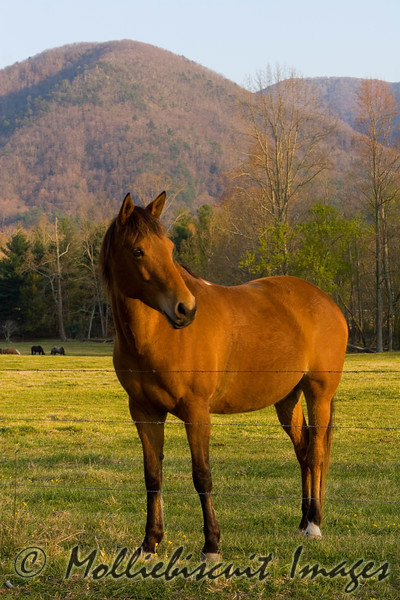 Mountain Steed<br /> Cades Cove Afternoon