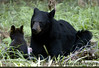 Summer Sow with 2 Cubs