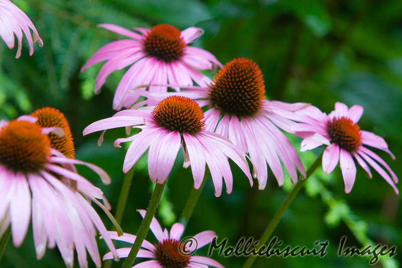 Coneflowers in Sunlight