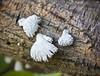 Shell Fungus