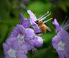 Purple Phacelia and Visitor<br /> April 2009