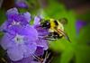 Purple Phacelia & Bee