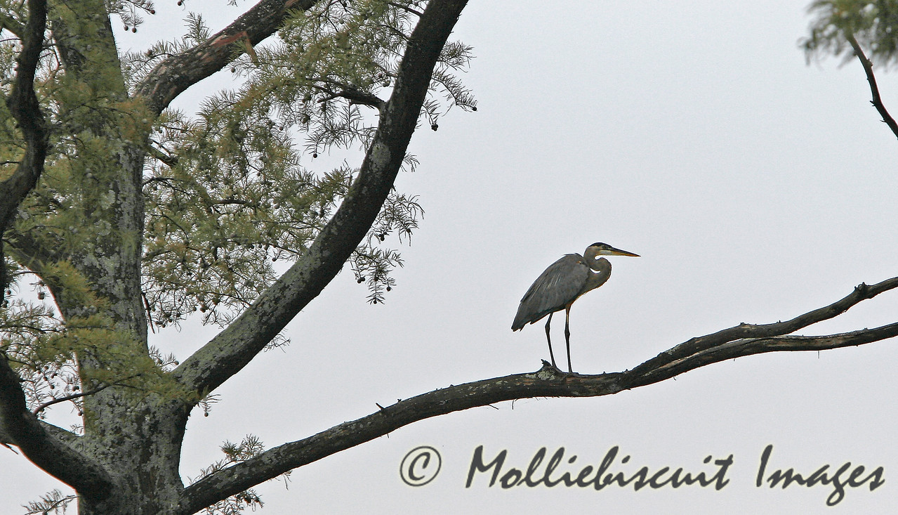High perch.....Great Blue Heron