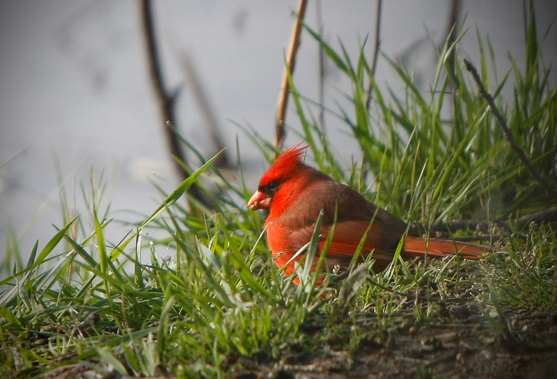 Cardinal Feeding....Gray's Camp