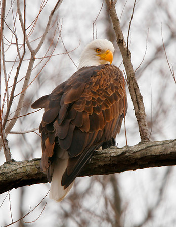Adult Bald Eagle in Black Bayou Refuge Area on a cold January day.