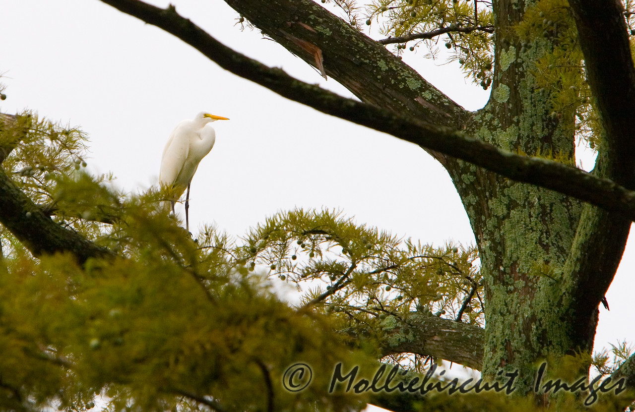 High Perch.....Egret