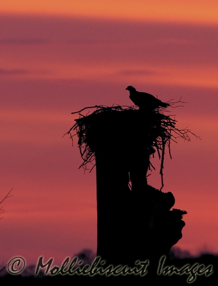 Waiting on daylight...osprey in nest.