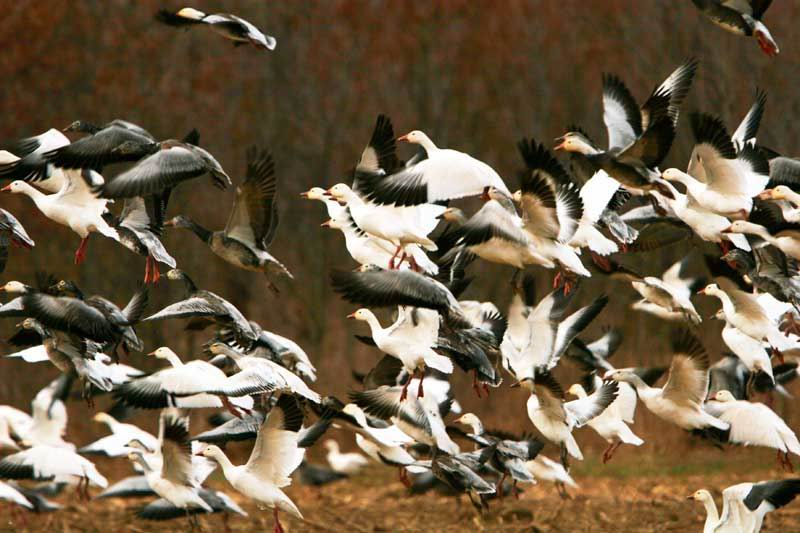 Snow geese take flight with glow of rising sun.