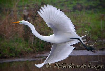 Graceful Flight of the Egret..