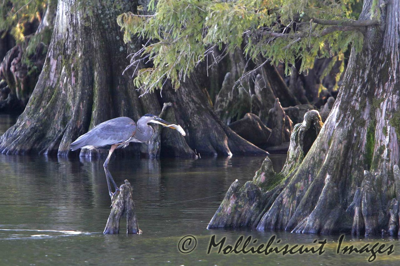 Great Blue Heron at home with a fish