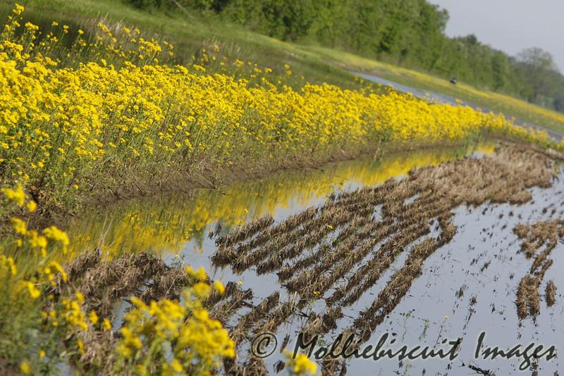 Ragwort and Field Mustard in Black Bayou
