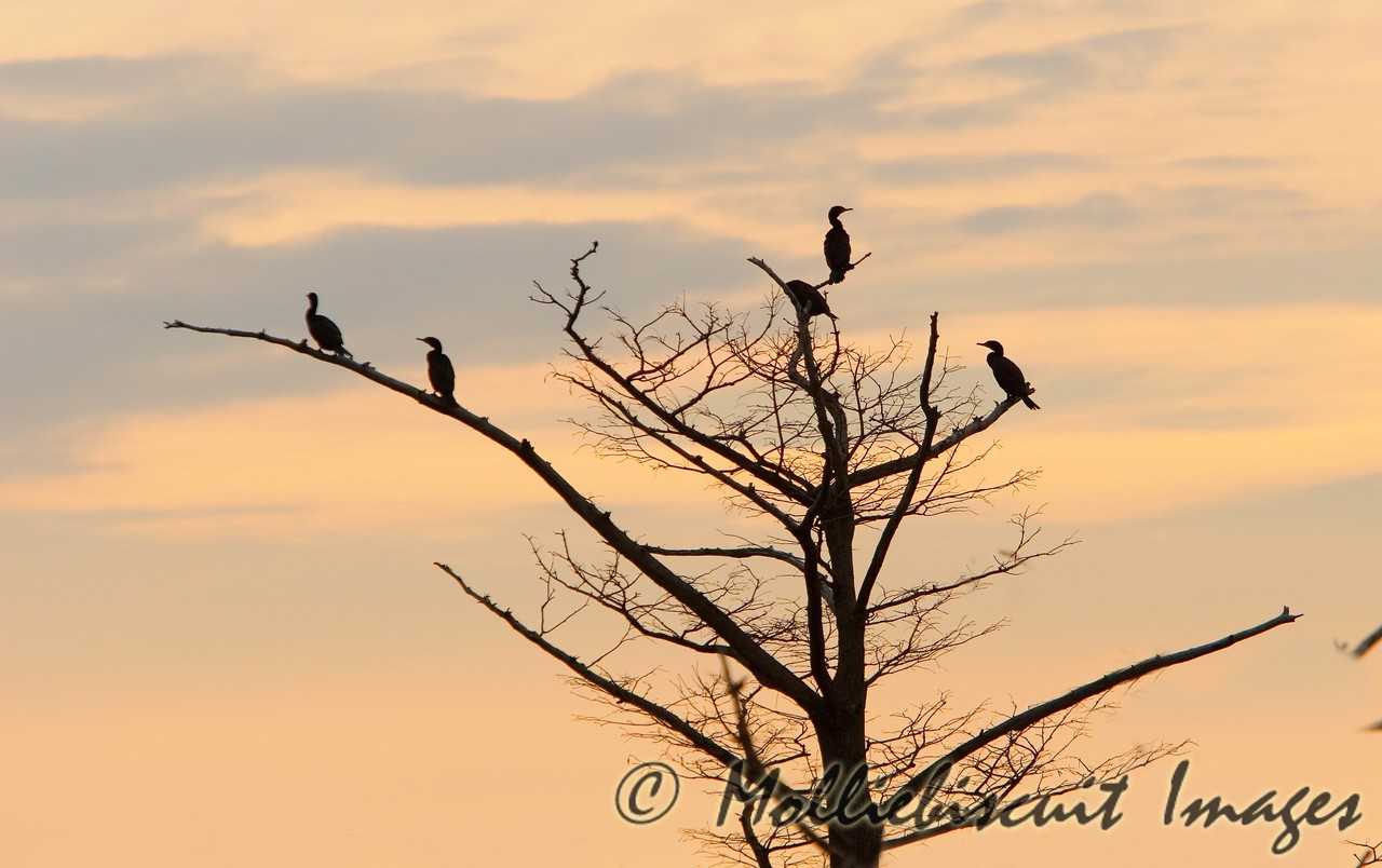 Cormorant in silhouette at daybreak
