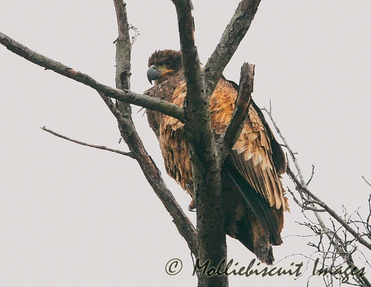 Immature eagle near Gray's Camp