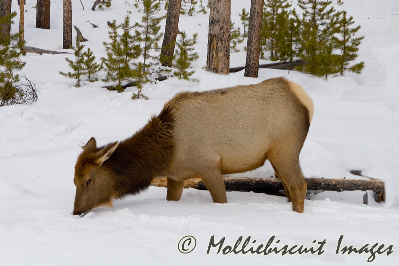 Young Elk grazing roadside. Animals have to forage through the snow at times to get to dead shoots.