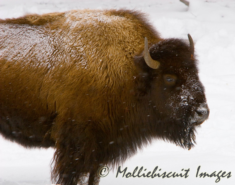"""Bison are faring better because of a """"mild"""" winter in the park."""