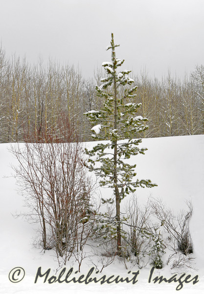 Example of Small Spruce struggling to grow in Volcanic soil of Yellowstone