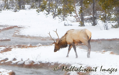 Cold, wet and breezy day for this bull elk