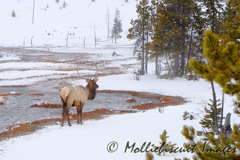 Bull Elk by stream...he actually was watching as a doe was crossing the stream behind him. He didn't see me.