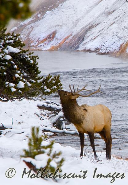 A Watchful Elk snacks in Midway Geyser Basin.....