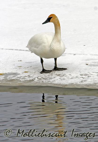 Trumpeter Swan on Flat Creek outside of Jackson Hole