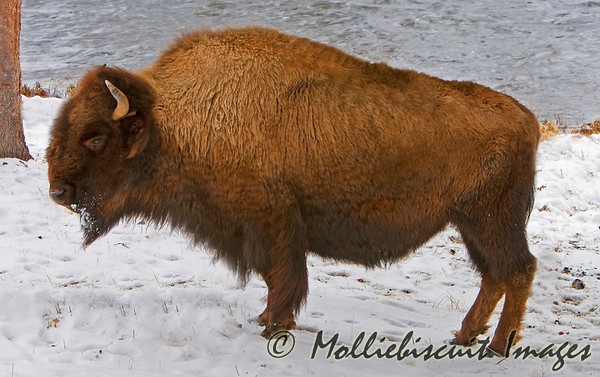 Winter in Yellowstone & The Tetons