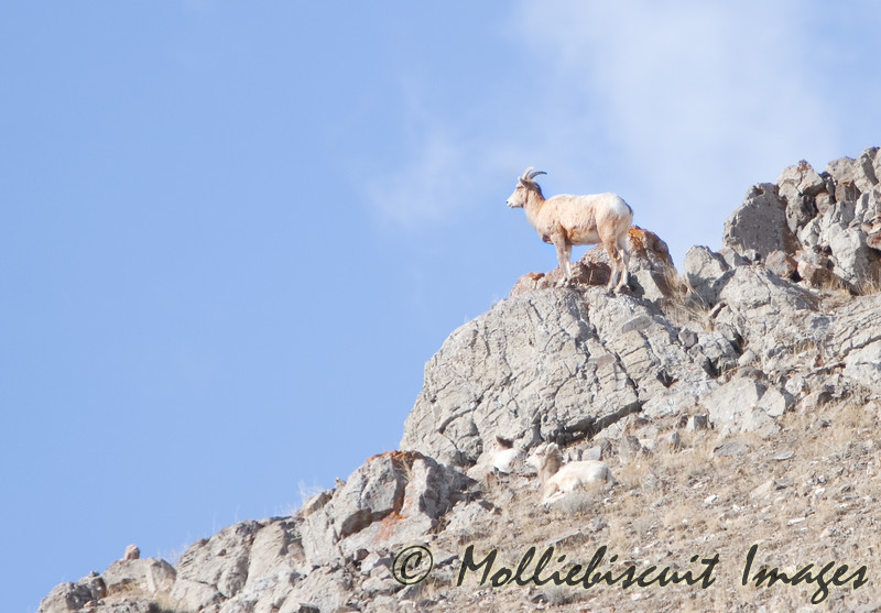 Big Horn sheep watches for danger from high point on mountain.
