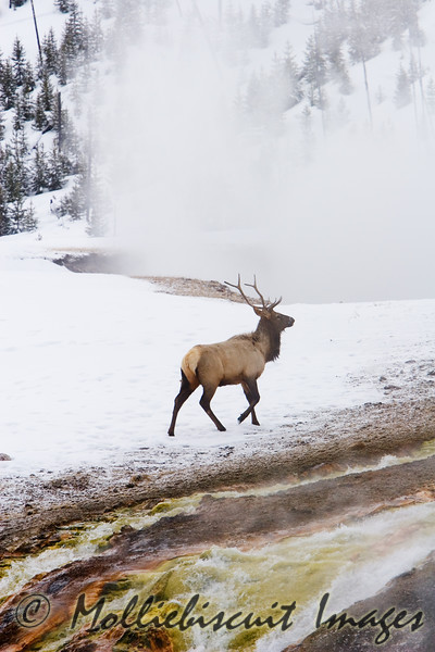 Midway Geyser Basin....Elk by colorful thermal runoff.