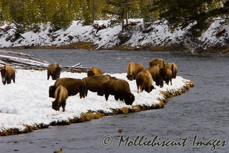 Bison grazing beside river