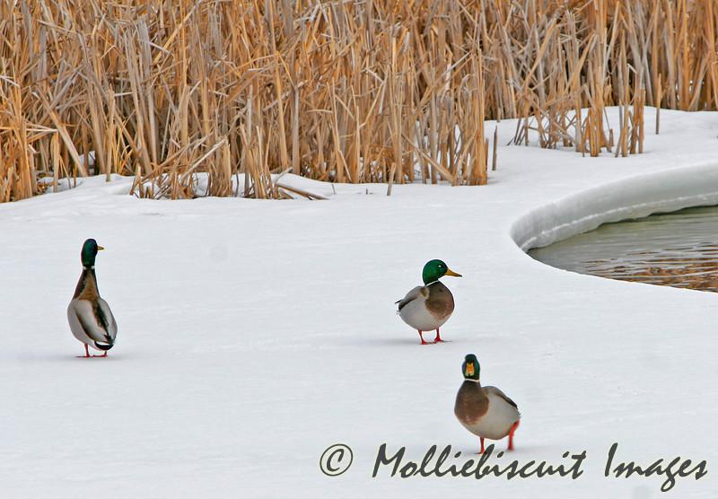 3 mallards enjoy a walk.