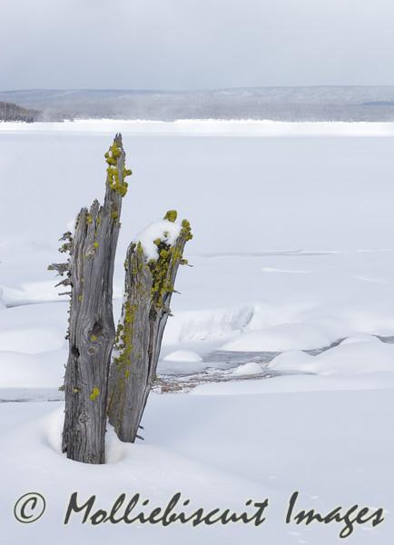 Stumps beside frozen lake.