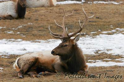 Bull Elk at rest in Tetons National Elk Refuge