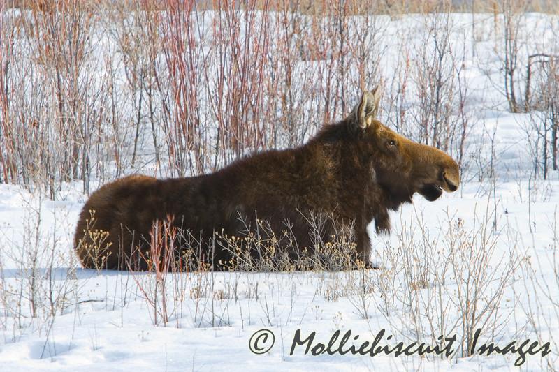 Moose Resting in Teton Lowland