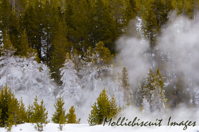 A row of ice-covered evergreens in Biscuit Basin. The ice is due to freezing vapor from thermals