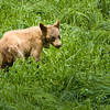 Yearling.....this young bear, although blond in color, is an American Black Bear. It lost it's mother to a car and was sent to a refuge and taught to stay clear of human activity and to forage for itself.