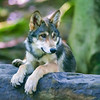 Young wolf alert while resting on a rock
