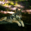 Young wolf paying attention while laying on a rock