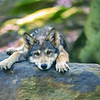 Young wolf tuckered out oanying head on rock