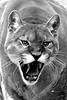 Mountain lion roaring
