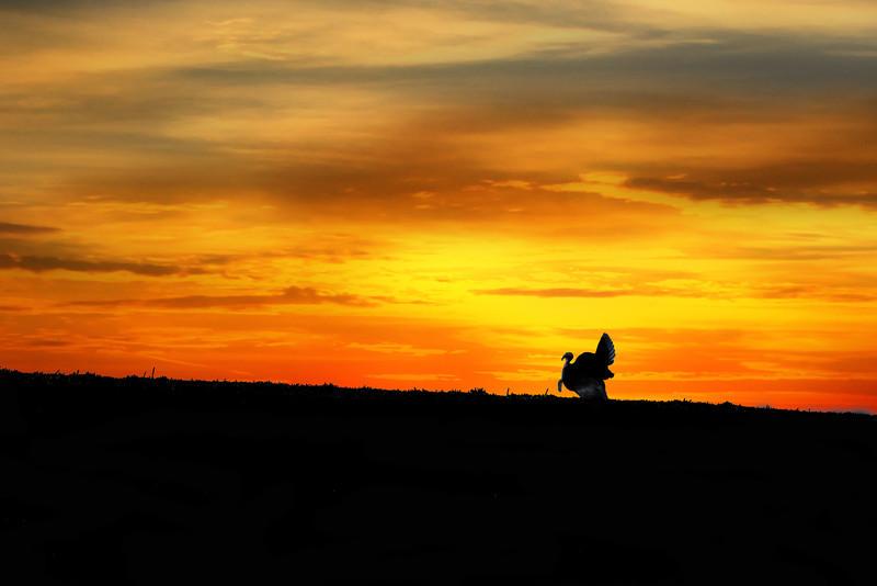 "Silhouette wild turkey in field at sunset <a href=""http://dan-friend.artistwebsites.com/index.html"">http://dan-friend.artistwebsites.com/index.html</a>"
